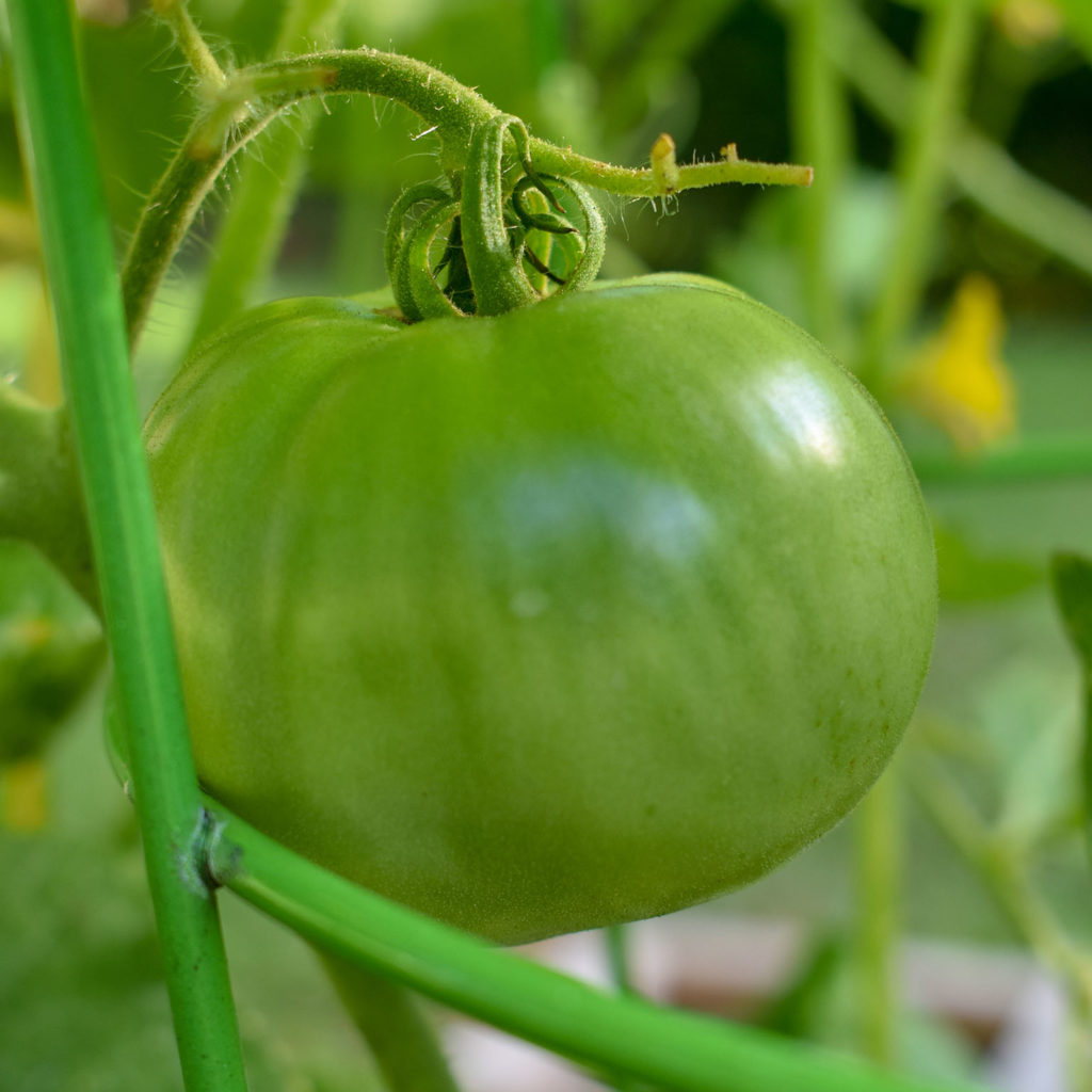 Green tomato growing in The Amateur Garden