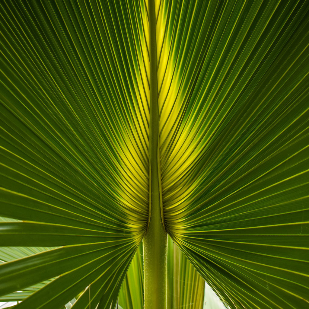 Copenhagen Palm- Happy Weekend
