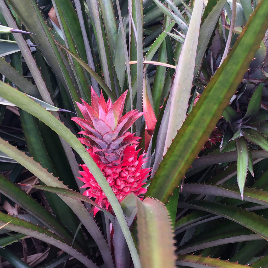 Pink Pineapple, Colombia- Great Weekend