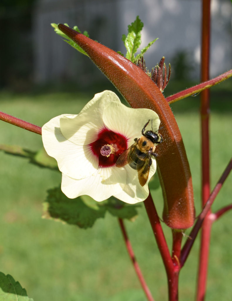 Burgundy Okra and Bee- The Amateur Garden Summer Season