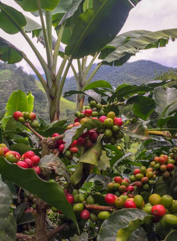 Coffee beans in Colombia- Weekend Reading